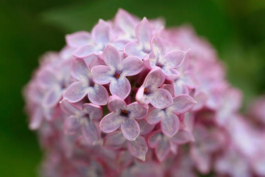 Syringa vulgaris : Stock Photo