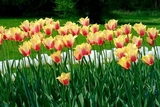 """Stock Photo: 4261-63916 Tulip """"Blushing Lady"""""""