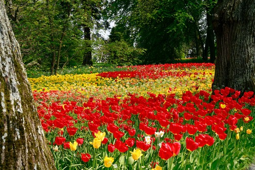 Naturalized tulips, Insel Mainau, Germany : Stock Photo