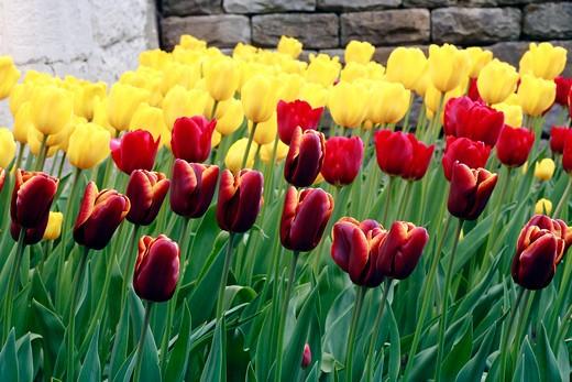 "Triumph tulips ""Abu Hassan"" : Stock Photo"