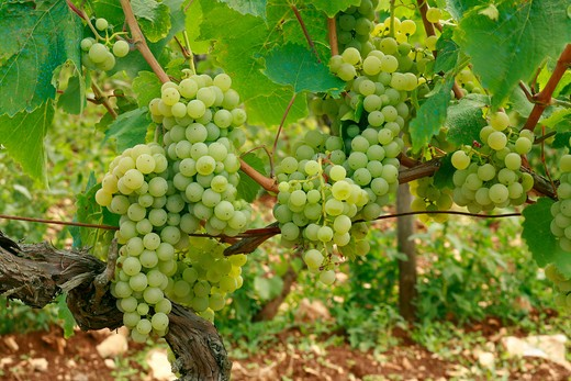 "Vine ""Malvasia Istriana"" : Stock Photo"