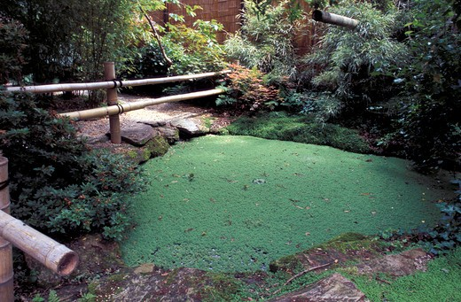 Azolla filiculoides : Stock Photo