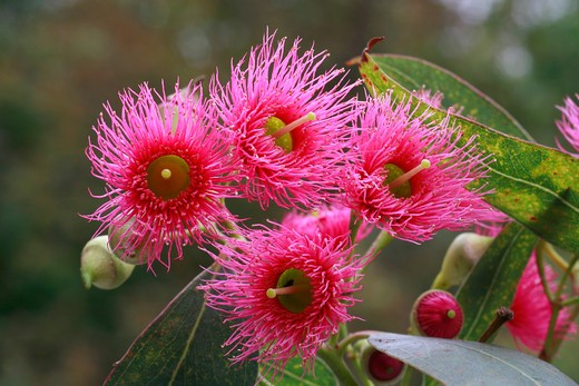 Eucalyptus sideroxylon : Stock Photo