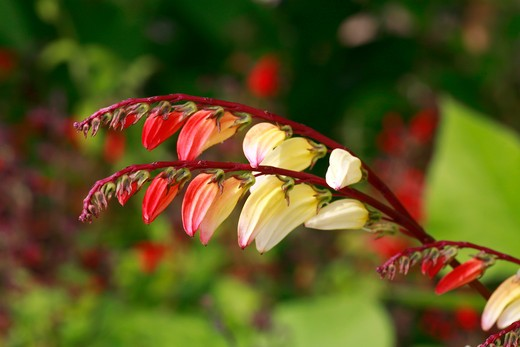 Stock Photo: 4261-65121 Mina lobata