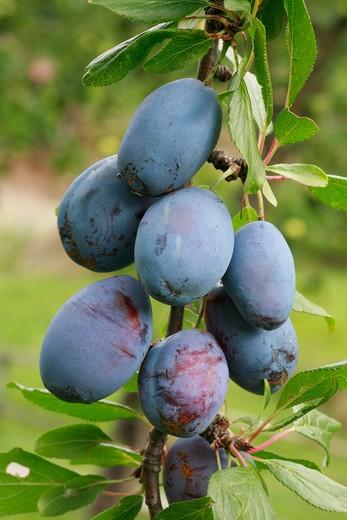 "Prunus domestica ""Santa Clara"" : Stock Photo"