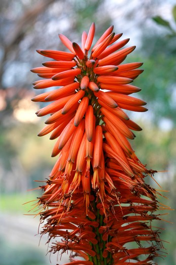Aloe arborescens : Stock Photo