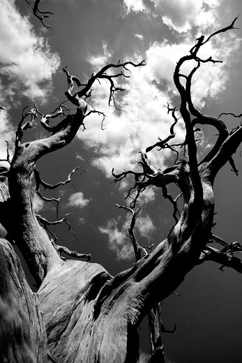 Jouniper tree, Supramonte, Sardinia, Italy, Europe : Stock Photo