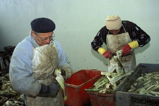 Manufacturing of Cardo Gobbo, Nizza Monferrato, Piedmont, Italy. : Stock Photo