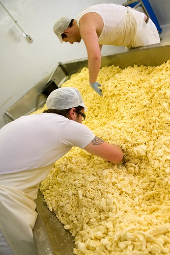 Stock Photo: 4261-70492 Cheddar cheese making, Montgomery Cheddar, Manor Farm, Yeovil, Somerset, England, United Kingdom, Europe