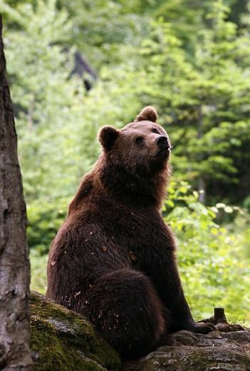 Bear, Italy : Stock Photo