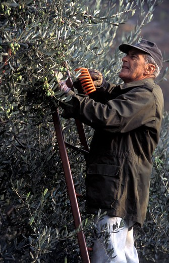 Olive harvest, Trentino Alto Adige, Italy : Stock Photo