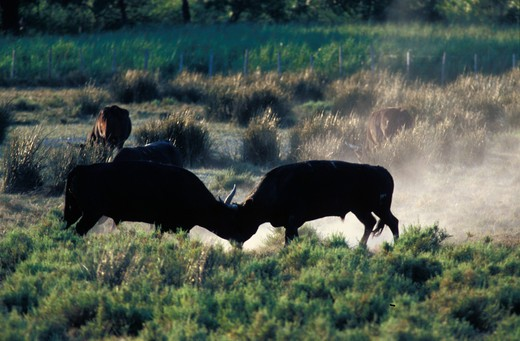 Stock Photo: 4261-75268 Bullfight, Camargue bulls, France, Europe
