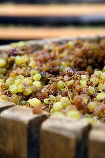 Vin Santo first pressing, Cantina di Toblino cellar, Sarche, Trentino Alto Adige, Italy : Stock Photo