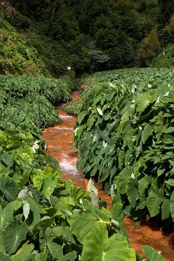 Stock Photo: 4261-76870 Chalybeate springs, Lomba das Barracas, Furnas, Sao Miguel Island, Azores, Portugal, Europe
