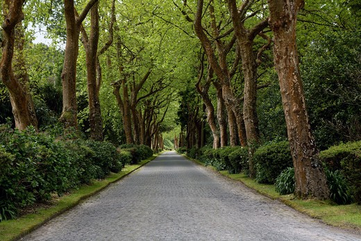 Stock Photo: 4261-76871 Tree-lined road, Furnas, Sao Miguel Island, Azores, Portugal, Europe