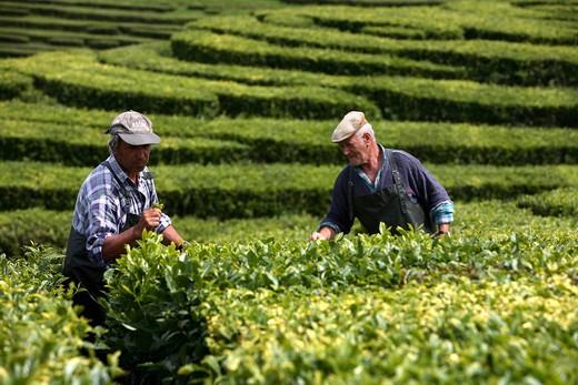 Tea cultivation, Gorreana, Sao Miguel Island, Azores, Portugal, Europe : Stock Photo