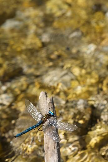 Stock Photo: 4261-76999 Dragonfly on Torrente Leno creek, Terragnolo, Trentino Alto Adige, Italy, Europe