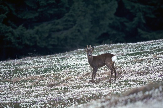 Roe Deer, Capreolus capreolus, Stelvio National Park, Trentino Alto Adige, Italy : Stock Photo