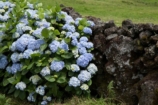 Stock Photo: 4261-77862 Lava wall with hydrangea flower, Caldeira de Guilherme Moniz, Terceira, Azores Island, Portugal, Europe