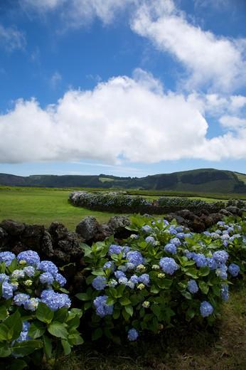 Lava wall with hydrangea flower, Caldeira de Guilherme Moniz, Terceira, Azores Island, Portugal, Europe : Stock Photo