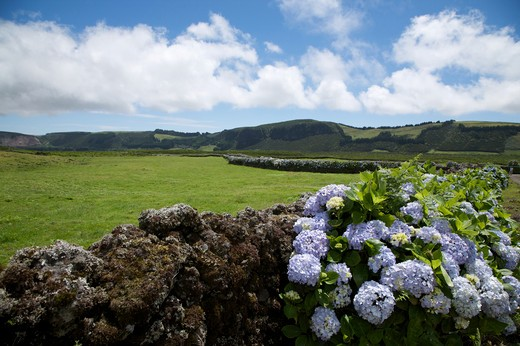 Lava wall with hydrangea flower, Caldeira de Guilherme Moniz, Terceira, Azores Island, Portugal, Europe : Stock Photo