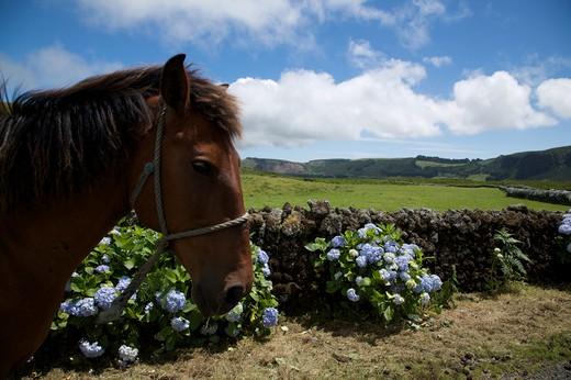Horse in a road with hydrangea flower, Caldeira de Guilherme Moniz, Terceira, Azores Island, Portugal, Europe : Stock Photo