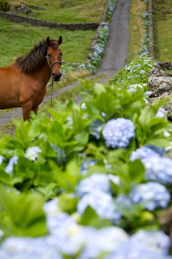 Horse in a road with hydrangea flower, Caldeira de Guilherme Moniz, Terceira, Azores Island, Portugal, Europe : Stock Photo