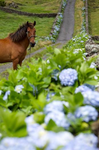 Stock Photo: 4261-77868 Horse in a road with hydrangea flower, Caldeira de Guilherme Moniz, Terceira, Azores Island, Portugal, Europe