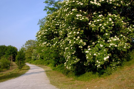 Stock Photo: 4261-7797 Sambucus nigra in flower