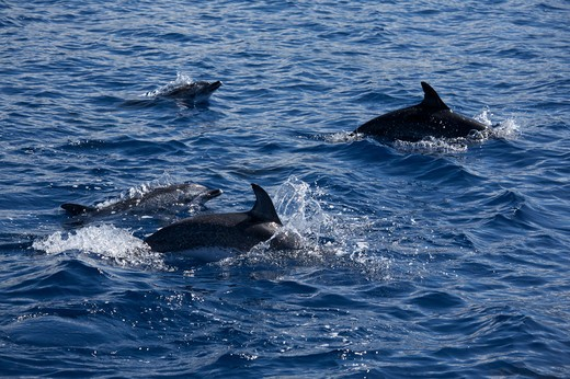 Dolphin watching in Atlantic ocean, Fajal, Azores Island, Portugal, Europe : Stock Photo