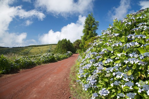 Stock Photo: 4261-77984 Clayey street with hydrangea flowering, Fajal, Azores Island, Portugal, Europe