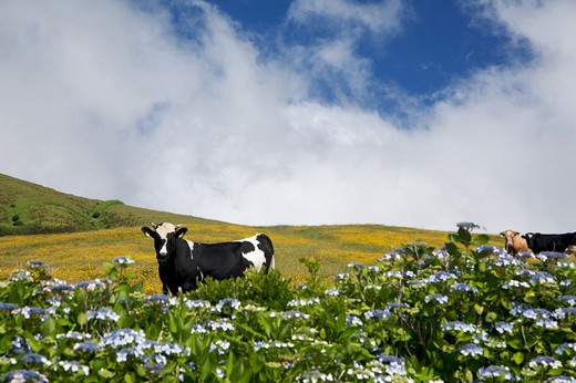 Cow with hydrangea flowering, Fajal, Azores Island, Portugal, Europe : Stock Photo