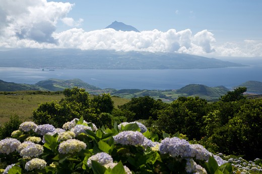 Hydrangea flowering with view of Pico island, Fajal, Azores Island, Portugal, Europe : Stock Photo