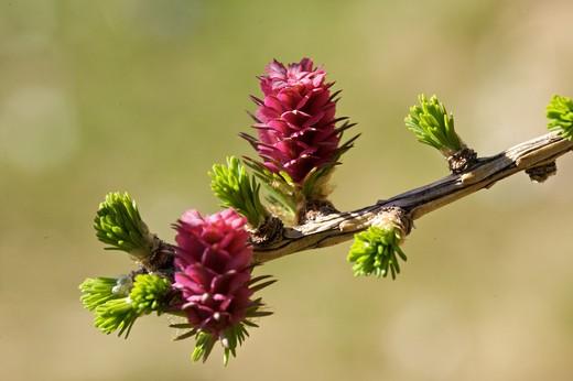 Stock Photo: 4261-78133 bud of larch, Lessinia Regional Park, Lessinia, Veneto, Italy, Europe