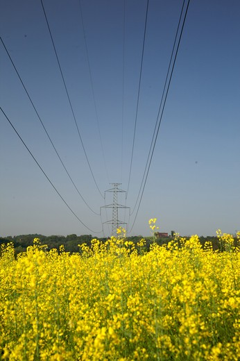 electrical line  in a rape field, Lombardia, Italy, Europe : Stock Photo