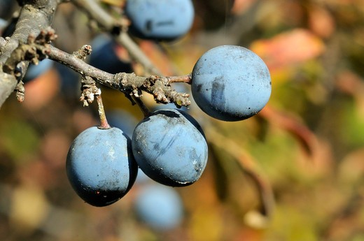 Prunus spinosa, Blackthorn : Stock Photo