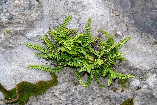 Stock Photo: 4261-8017 Asplenium sp.,