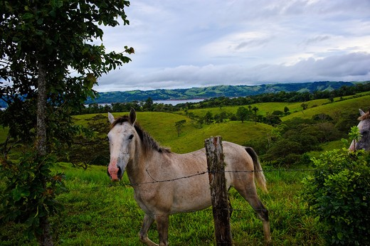 Horse, Lake Arenal, Republic of Costa Rica, Central America : Stock Photo