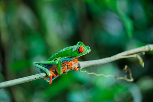 Frog Agalychnis callidryas, La Fortuna, Republic of Costa Rica, Central America : Stock Photo