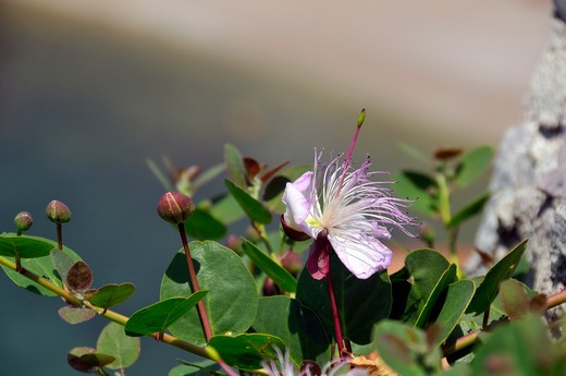 Capparis spinosa, Caper : Stock Photo