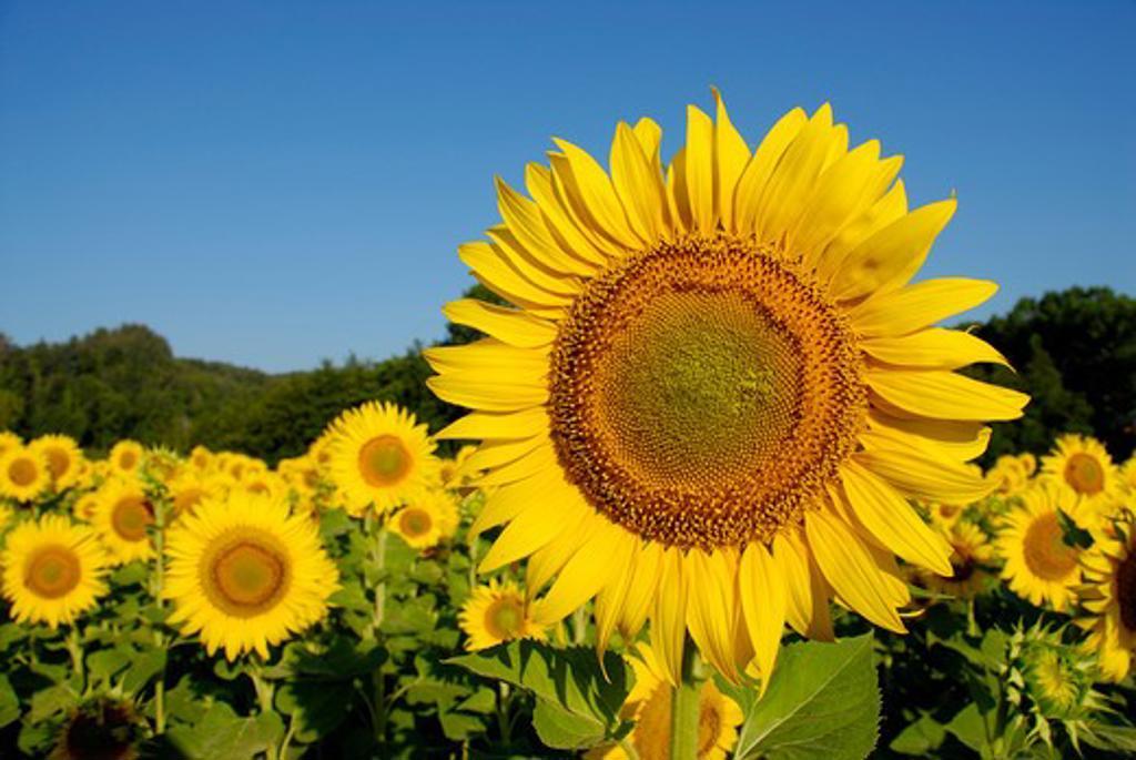 Stock Photo: 4261-8410 Sunflowers field, Tuscany, Italy