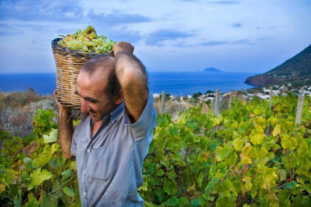 Grape harvest, Salina Island, Messina, Sicily, Italy, Europe : Stock Photo