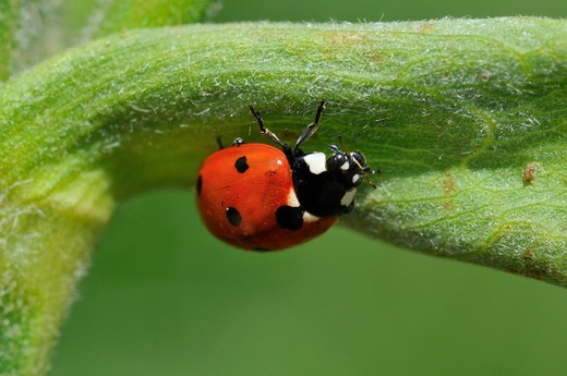 Coccinella septempunctata, seven-spot ladybird : Stock Photo