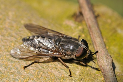 Stock Photo: 4261-8607 Tabanus autumnalis, large marsh horsefly