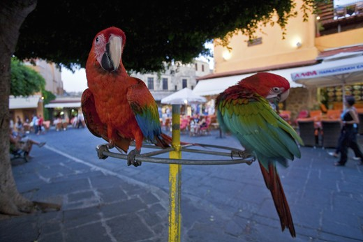 Parrot in old town, Rhodes, Dodecanese, Greek Islands, Greece, Europe : Stock Photo