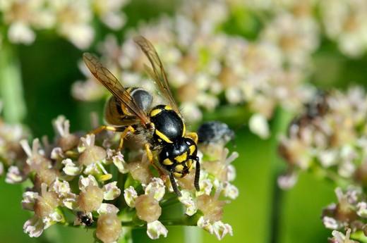Vespula vulgaris, Common wasp : Stock Photo