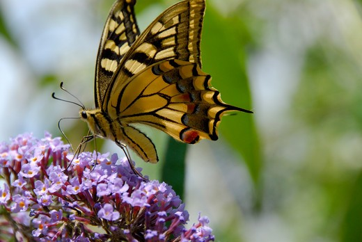 Stock Photo: 4261-8674 Papilio machaon, Old World Swallowtail