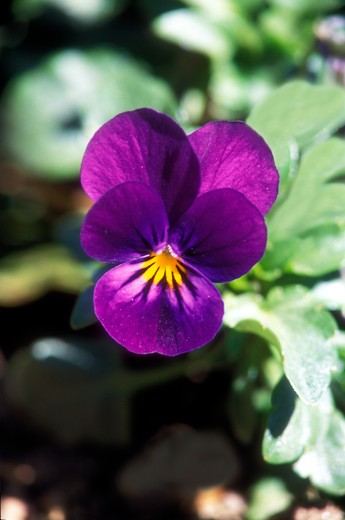 Stock Photo: 4261-86787 Viola tricolor, Villa Carlotta, Tremezzo, Lombardy, Italy