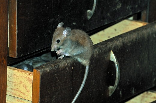 Rattus rattus, Black rat : Stock Photo