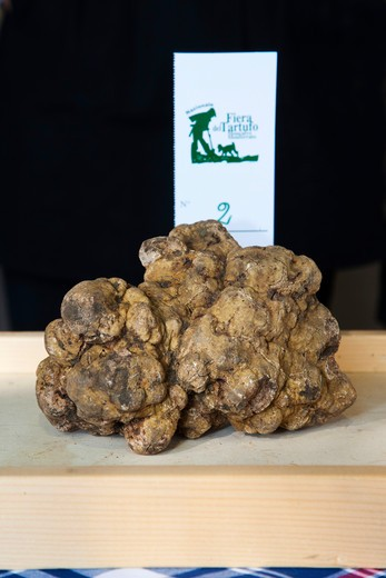 Moncalvo National  Truffle Fair, a nice  piece of white truffle (Tuber magnatum) taking part to the contest for the best one, Asti, Piedmont, Italy, Europe : Stock Photo